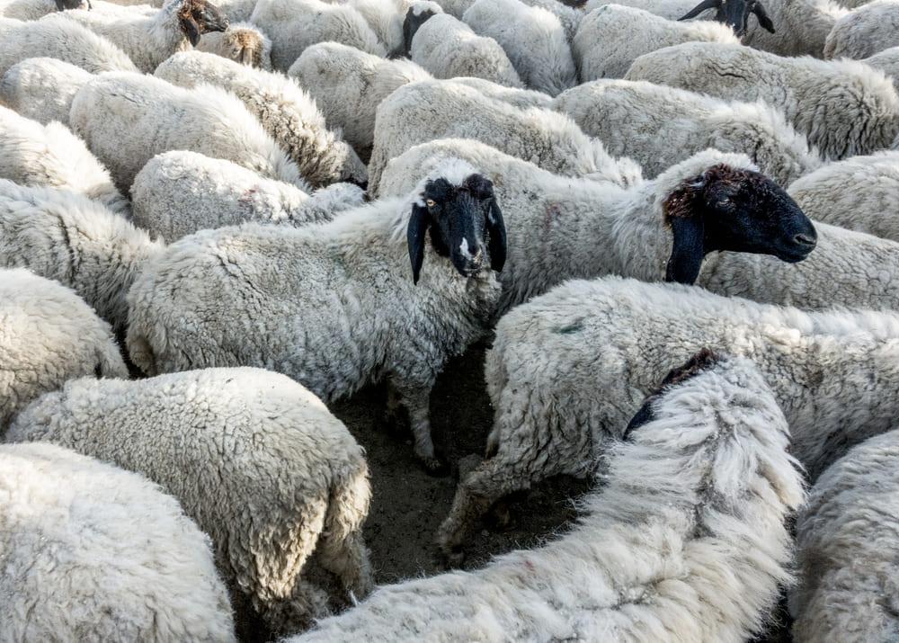 ovcevodstvo kak biznes dlya nachinayushhego fermera 1